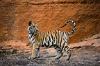 11 months old Bengal tiger cub in front of cliff, Bandhavgarh NP, India
