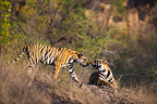 17 month old Bengal tiger approaching sibling, Bandhavgarh NP, India