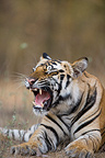 17 month old Bengal tiger cub yawning, Bandhavgarh NP, India