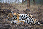 11 months old Bengal tiger cub joining mother, Bandhavgarh NP, India