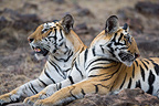 Bengal tigress and 11 months old male cub, Bandhavgarh NP, India