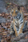 11 months old Bengal tiger cub sitting in forest Bandhavgarh (Bengal tiger)