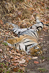 17 months old Bengal tiger sleeping Bandhavgarh India (Bengal tiger)