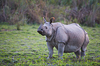Indian rhinoceros in meadow Kaziranga India (Indian rhinoceros)