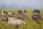 Tourists on elephant watching Indian rhinoceros Kaziranga (Indian rhinoceros)