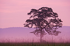 Tree in grassland at dawn in Kaziranga National Park India