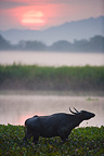 Indian water buffalo in hyacinth swamp at sunrise Kaziranga (Water Buffalo)