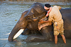 Mahout giving Indian working elephant a bath Kaziranga India (Asian elephant)