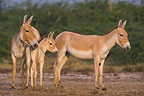 Indian Wild Asses and foal Gujarat India (Indian wild Ass)