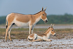 Indian Wild Ass and foal Little Rann of  Kutch Gujarat India (Indian wild Ass)