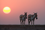 Indian Wild Asses in vast dry clay pan at sunset Gujarat (Indian wild Ass)