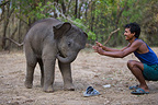 4 week old Asian elephant playing with trainer Bandhavgarth (Asian elephant)