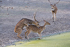 Deer trying to mate while female is drinking Bandhavgarth (Axis deer)