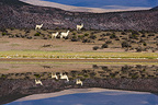 Herd of Llamas walking along lake shore Altiplano Chili (Llama)