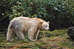 Kermode bear fishing for Sockeye salmons Canada  (Black bear )