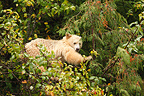 Kermode bear eating Oregon crab apple Canada� (Kermode Bear)