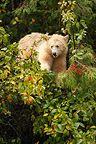 Kermode bear eating Oregon crab apple Canada  (Kermode Bear)
