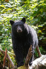 Black bear near a salmon river British Columbia (Black bear )