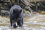 Black Bear fishing for pink salmon in a river Canada� (Black bear)