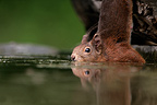 Red Squirrel near water Hungary (Eurasian red Squirrel )