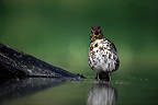 Song Thrush in water Hungary (Song Thrush)