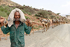 Camel caravan carrying salt from the Danakil�Ethiopia (Dromedary)