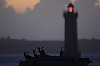 Cormorants on dormitory at twilight and lighthouse (Cormorant)