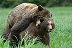 Mating Grizzlys Khutzeymateen Grizzly Bear Sanctuary Canada (Brown bear)