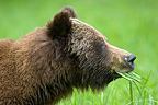 Grizzly eating grass on bank of Khutzeymateen river Canada (Grizzly bear)