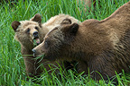 Grizzly and cub eating grass British Columbia Canada� (Grizzly bear)