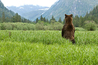 Grizzly watching the arrival of a congener Khutzeymateen (Grizzly bear)