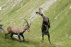 Play fighting between male ibexs Vanoise France (Ibex)