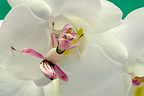 Malaysian Orchid Mantis on Phalaenopsis flower