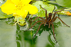 Raft Spider and Tree frog Saint Gond Marsh Champagne France