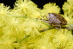 Stink bug on wild flowers Mimosa Oléron France