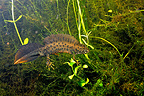 Male Northern Crested Newt in a pond Touraine France