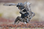 Male Ruffes fighting in an arena Varanger Norway (Ruff)
