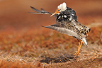 Male Ruff in courtship behaviour in an arena Varanger Norway (Ruff)