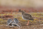 Female Ruff claiming for the male Varanger Norway (Ruff)