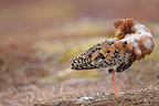 Male Ruff resting before courtship behaviour in an arena (Ruff)