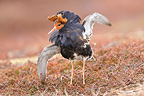 Male Ruff in courtship behaviour in an arena Varanger (Ruff)