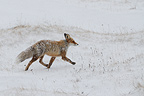 Red Fox trotting in the snowy tundra  Varanger Norway (Red fox)