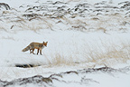 Red Fox watching in the snowy tundra  Varanger Norway (Red fox)