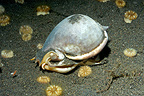 Shell walking on a volcanic bottom Bali