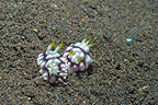 Pair of sea slugs on a sea bottom Bali