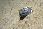 Napoleon Snake Eel with its head out of a hole Bali (Napoleon snake eel)