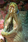Portrait of a threatening Speckled Moray Malpelo Island (Speckled Moray eel)