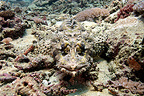 Mimicry of a Crocodile fish Bali (Beaufort's Crocodile fish)