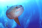 Ocean Sunfish swimming Bali (Ocean sunfish)