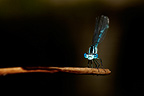 Azure Damselfly on a dead leaf in summer Vaucluse France